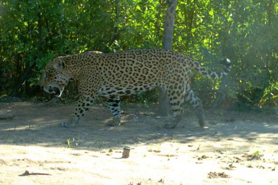 Jaguar monstro VS Tigre de Sumatra Wcs.jaguar.cameratrap.3.568