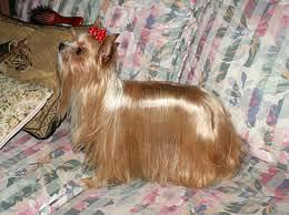 Mutaciones en el Yorkshire terrier 6bc1b8ed78