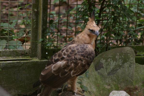 Falconiformes. Família  Acciptridae - Subfamília Buteonidade- Gaviões de penacho. genêro SPIZAETUS 4309344-Javan-hawk-eagle-Spizaetus-bartelsi-1