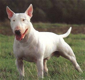 BULLBREEDS Terrier.1