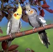 صور طائر الكوكتيل 109567