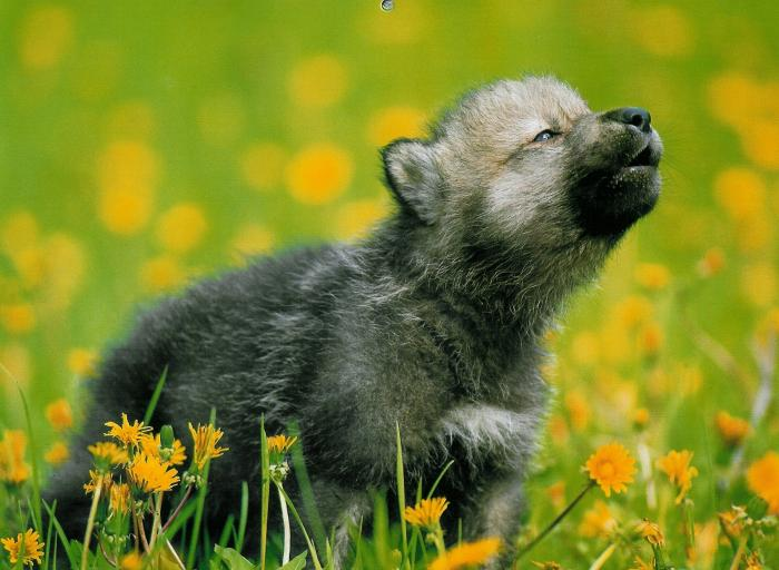 Wolves of the Skryer Forest Grey-wolf-pup