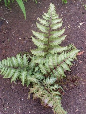 Растения для тени или Тенистый сад. Dm-5903