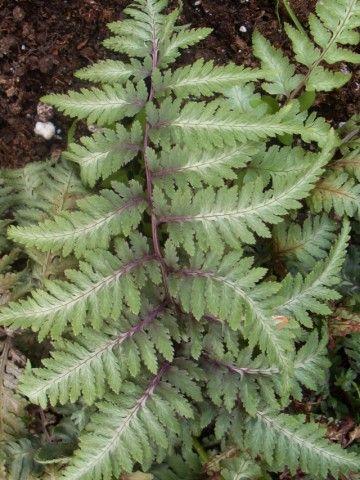 Растения для тени или Тенистый сад. Dm-9T1X