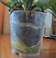 Орхидеи - Страница 3 Dt-5GF1