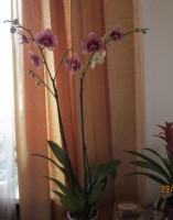 Орхидеи - Страница 3 Dt-5SNH