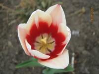 Тюльпаны Dt-6C3K