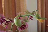 Орхидеи - Страница 3 Dt-7JBN