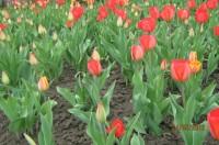Тюльпаны Dt-93LA