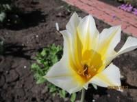 Тюльпаны - Страница 2 Dt-EIQ8