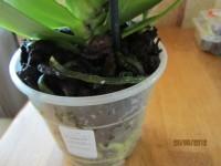 Орхидеи - Страница 3 Dt-EUT8