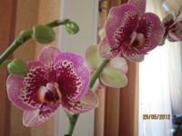 Орхидеи - Страница 3 Dt-F5PA