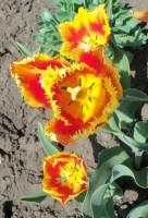 Тюльпаны - Страница 3 Dt-FUN1