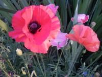 Можно ли выращивать мак восточный на садовом участке Dt-IQFM