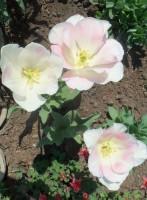 Тюльпаны - Страница 3 Dt-ME4O