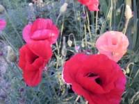 Можно ли выращивать мак восточный на садовом участке Dt-N36E