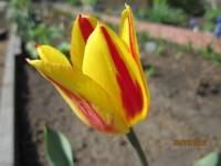 Тюльпаны - Страница 2 Dt-UJRG