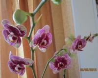 Орхидеи - Страница 3 Dt-VKW0