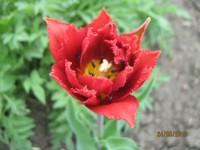 Тюльпаны Dt-YSVY