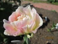 Тюльпаны - Страница 2 Dt-ZYZJ