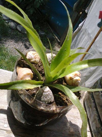 Identificare plante necunoscute - Pagina 6 407128080