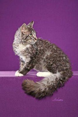 Необычные и редкие породы кошек и собак Laperm-cat-pictures-of-cats-8