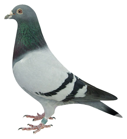 Vide pacard Pigeon
