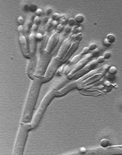 مملكه الفطريات   Penicillium_atramentosum