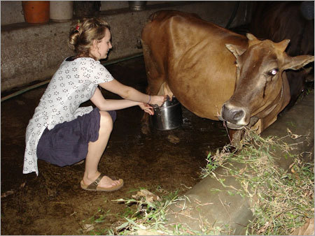 urine des chameaux science ou mythe Cow-Urine-Therapy-Services