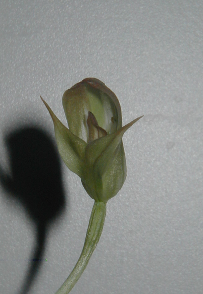 Pterostylis curta P.curta