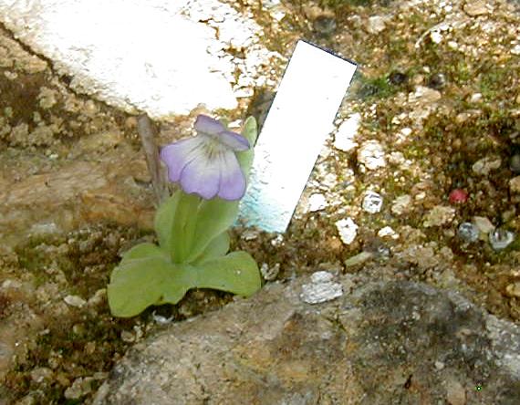 vallisneriifolia VAL2019