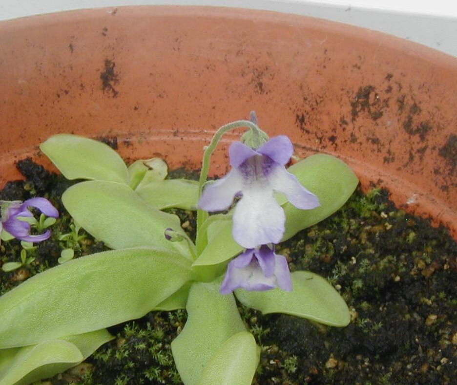 P.macroceras Macro18