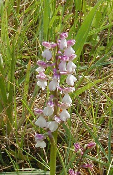 orchidees de charente maritime Morio