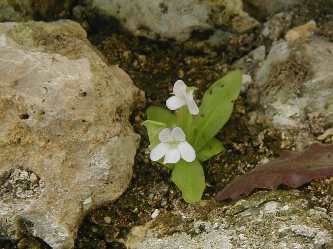 vallisneriifolia Val