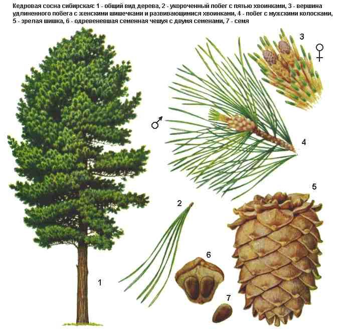 гороскопдруидов - Магические свойства деревьев. Магия деревьев. Деревья в магии. 262