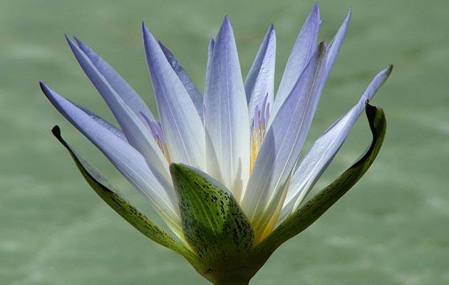 5 Legalnih biljaka koje vas mogu… učiniti sretnijim Plavi-lotus
