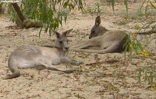 Klokani Kangaroos