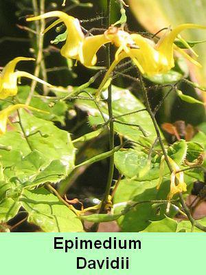 la plante de Martin 6 avril trouvée par Martine Epimedium%20davidii