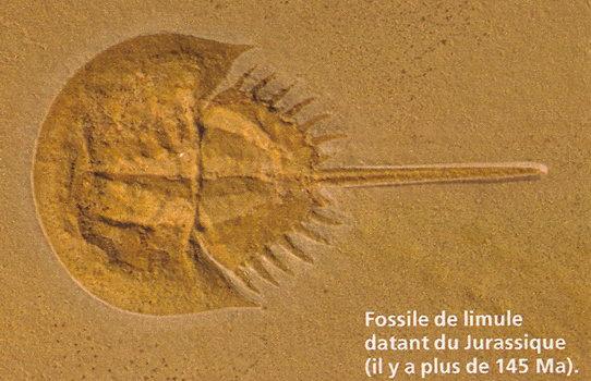 Le vivant, c'est trop cool ! (faune, flore, etc.) - Page 3 Passe.limule2