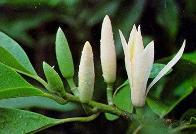 VƯỜN CÂY HOA ĐV I - Page 4 About-new-planted-michelia-alba-tree-4674