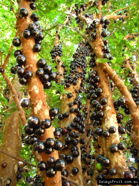 Plantation d'arbre fruitier  Jaboticaba-88