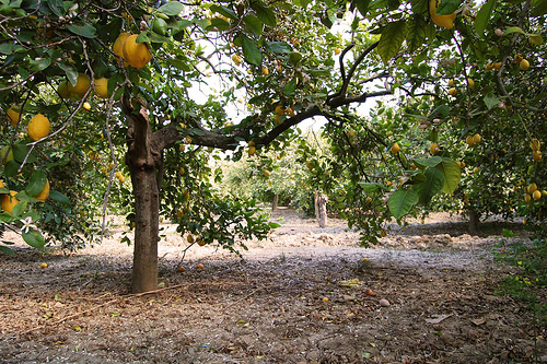 Convocatoria Día del Árbol  Limonero
