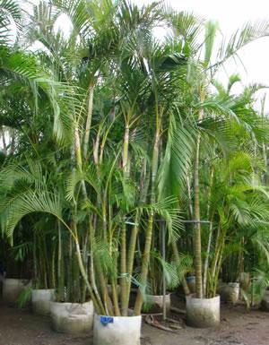 Lục Bát Hoa ĐV - Page 2 Chrysalidocarpus-lutescens-