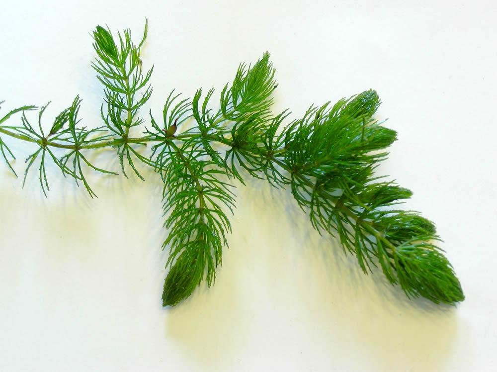 besoin de conseil pour faire reproduire des platy Ceratophyllum-demersum