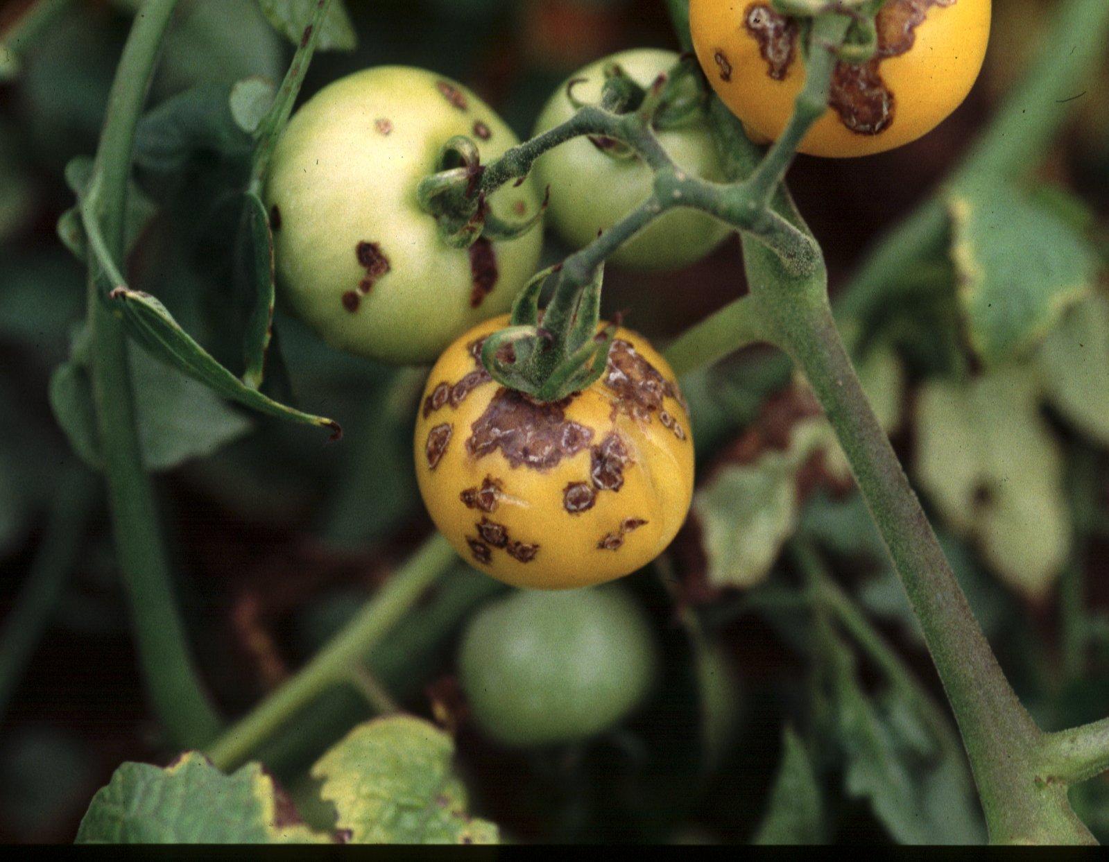 ملف كامل عن زراعة الطماطم  - صفحة 2 Bacterial%20spot%203