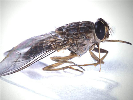 ذبابة تسي تسي اخطر الحشرات في العالم .. قاتلة ومميتة 0028fa8c4d