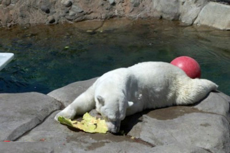 كيف يأكل الدب البطيخ !!! صور صعبه جدا 14_5