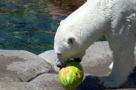 كيف يأكل الدب البطيخ !!! صور صعبه جدا 1_6