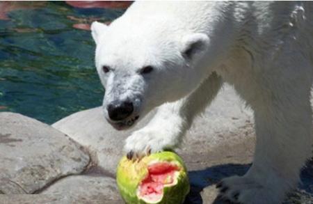 كيف يأكل الدب البطيخ !!! صور صعبه جدا 2_5