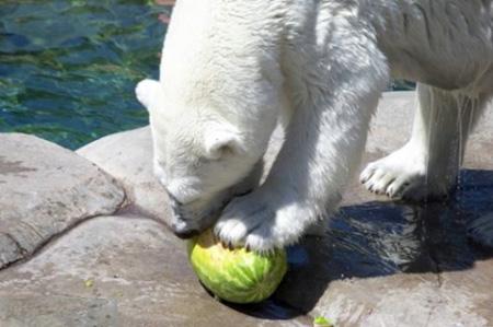 كيف يأكل الدب البطيخ !!! صور صعبه جدا 5_5